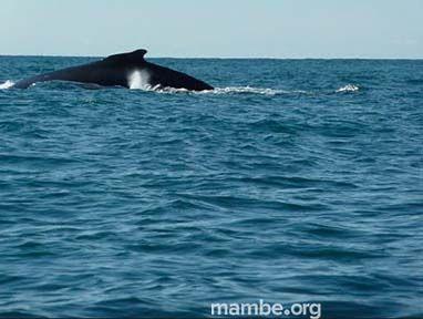 Temporada de ballenas en el Chocó! #Viajes Descubre la Colombia profunda con Mambe.org!