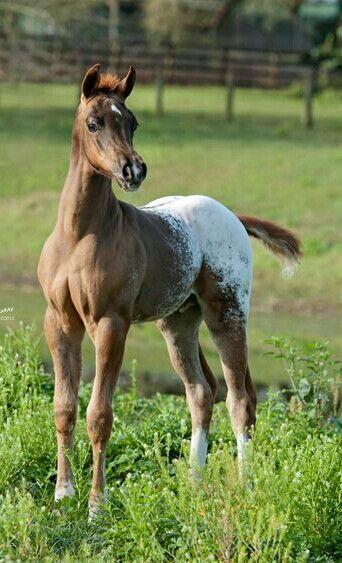 Arabian/Appaloosa stunning foal!   Showbiz Arabians