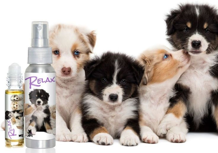 AUSTRALIAN SHEPHERD ANXIETY AND STRESS RELIEF RELAX DOG AROMATHERAPY FOR YOUR AUSSIE Your Australian Shepherd may have been bred to herd stubborn cows, stealthy sheep, wily chickens, annoyed geese (he