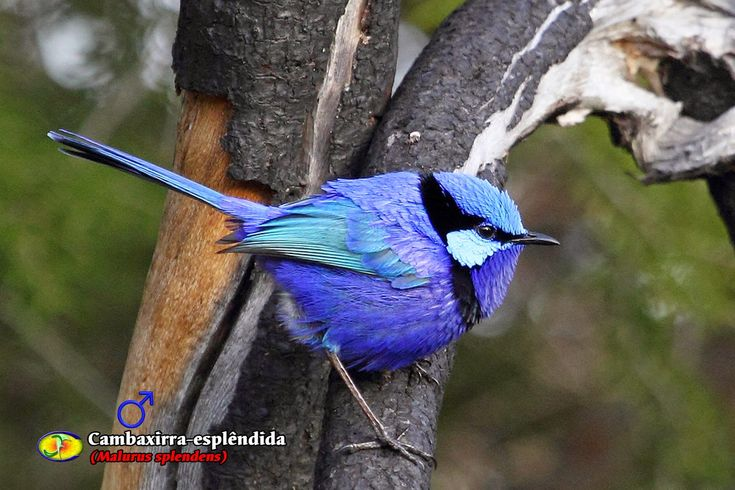 Zoologia: Cambaxirra-esplêndida (Malurus splendens)