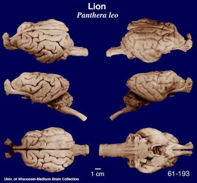 Lion brain // The Natural World: Your Dog May Be Dumb, But ...