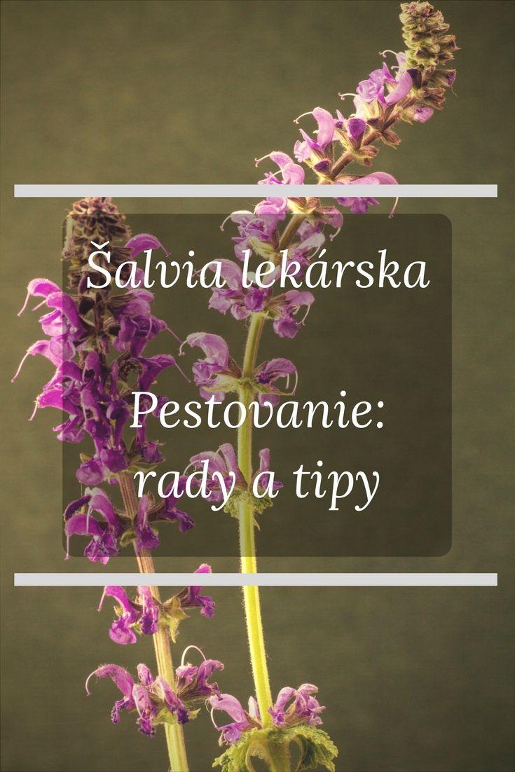 Šalvia je skvelá liečivá rastlina. Šalviu je možné pestovať vonku – buď na záhrade, alebo na poli. Je však potrebné porozumieť čo šalvia obľubuje a čo pestovanie šalvie obnáša. http://skvelydomov.eu/salvia-lekarska-pestovanie/