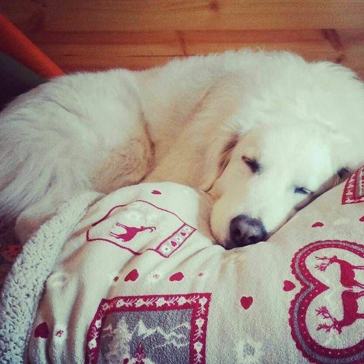 Ancora 5 minuti  Foto di: @milka_fluffybear  #BauSocial  Testing my pawrent's new blanket  #Milka  Provo la nuova copertina! #cane #dog #love #paws #fluffy #whitedog #sleep #instadog #italia #milano #ronf #zzz #dogs #dogofinstagram #doglovers #roma #happy #tbt #friends