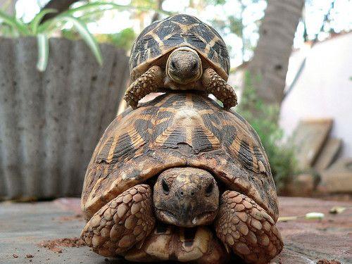animals-animals-animals: Indian Star Tortoises (Geochelone elegans) (by jackol)