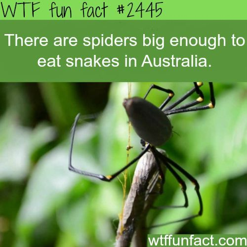 Spiders eat snakes in Australia - Are We NEXT? WTF! - NOT So fun facts...