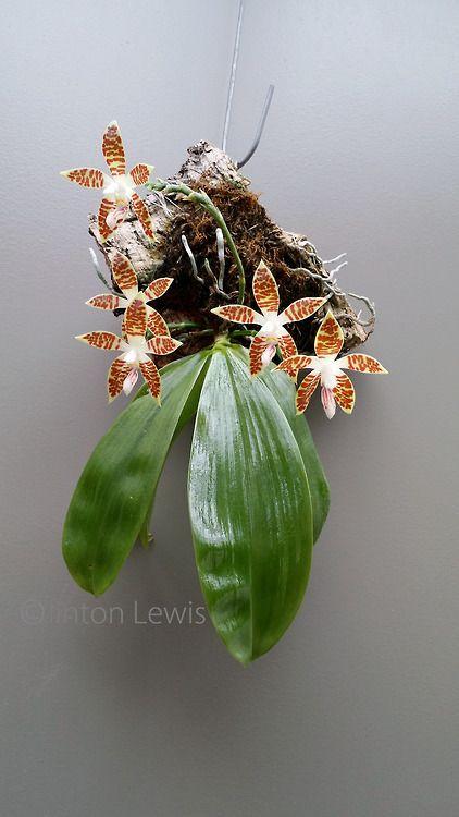Phalaenopsis sumatrana (Sumatra, Borneo, Malay Pennisula)