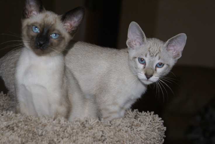 My Siamese beauties: A seal point and her brother, a lynx point.Lynx Point, Seals Point