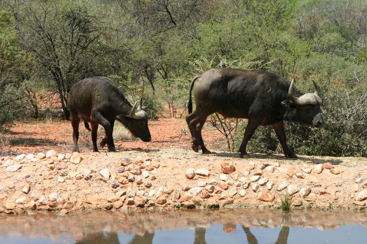 #Thaba Tshwene Game Lodge - #Buffalo at the #Waterhole  - www.thabatshwene.co.za