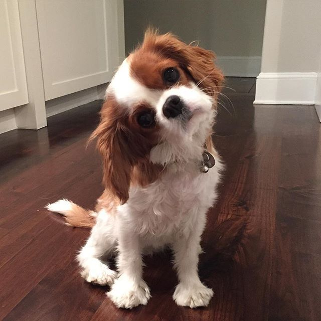 Olive - What do you mean I can't go outside? ⁉️ #CavalierKingCharlesSpaniel