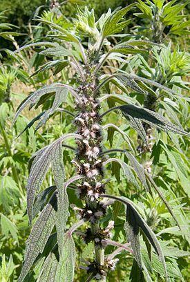 Пусты́рник пятило́пастный (лат. Leonúrus quinquelobátus) — многолетнее травянистое растение, вид рода Пустырник (Leonurus) семейства Яснотковые, или Губоцветные (Lamiaceae). Широко используется как лекарственное растение.