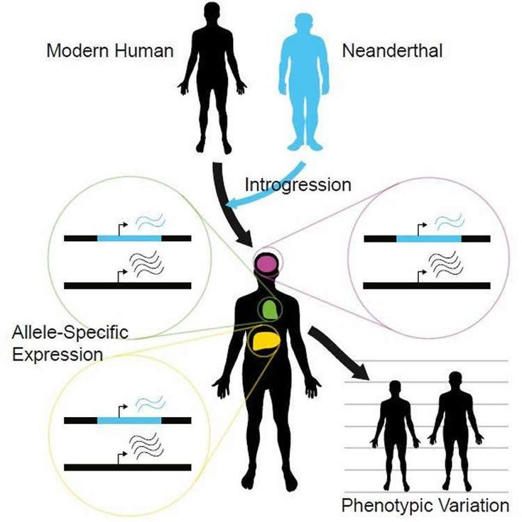 This visual abstract depicts the findings of McCoy et al., who show genome-wide interrogation of the functional differences between modern human and Neanderthal alleles reveals that Neanderthal-inherited sequences are not silent remnants of ancient interbreeding but have a measurable impact on gene expression that may contribute to phenotypic variation in modern humans. NeuroscienceNews.com image is credited to McCoy et al./Cell 2017.