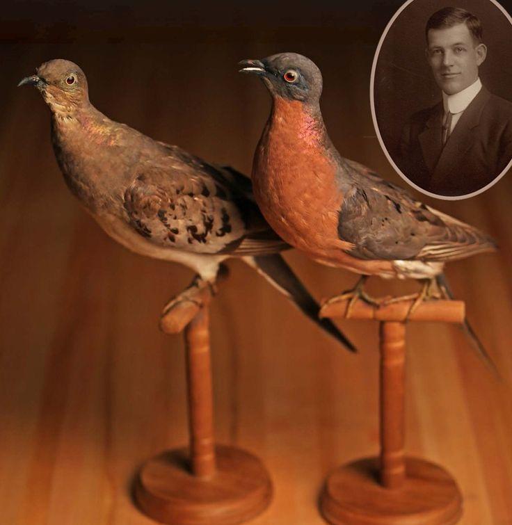 Arlie William (Bill) Schorger and passenger Pigeon specimens