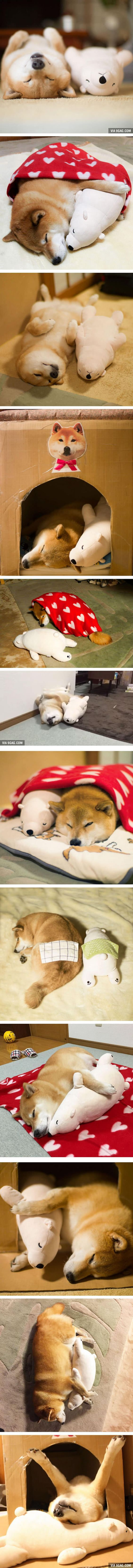 Shiba Inu Maru Loves To Sleep With His Little Stuffed Polar Bear Toy: