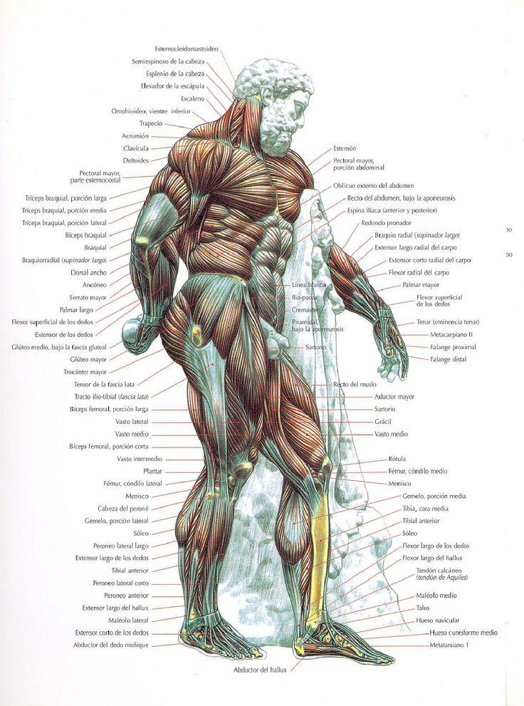 25 best Anatomy images on Pinterest   Anatomie, Menschliche anatomie ...