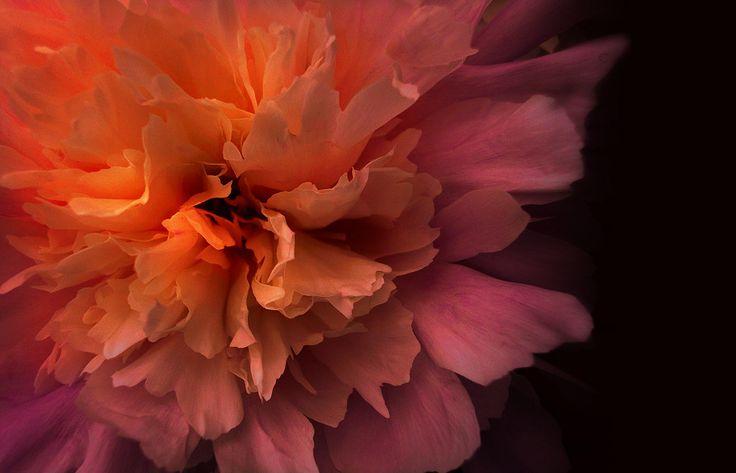 Paeonia - van Suzan Van Lieshout VI - more images on http://on.dailym.net/2ekBRVE #Paeonia
