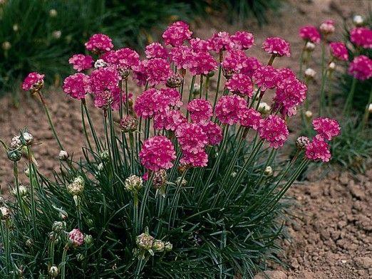 Armeria Splendens ~ Petite vivace en touffe dont le feuillage rappelle le gazon. Très florifère, elle se couvre de petites fleurs sphériques d'un rose vif. Facile d'entretien et peu exigeante, tailler seulement les fleurs fanées. Idéale dans la rocaille ou en bordure de la plate-bande.
