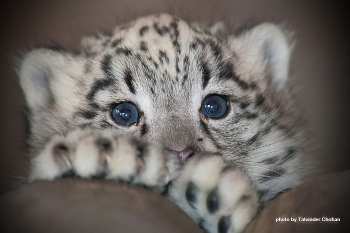 """From """"The Daily Snow Leopard"""" comes """"Nidara (""""fearless""""), the beautiful blue-eyed baby snow leopard at Dudley Zoo."""" Photo by Talvinder Chohan."""
