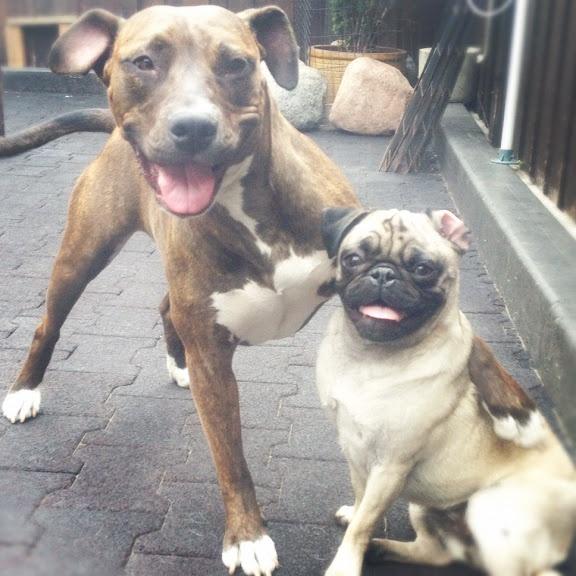September 2012 - Green Dog - Picasa Web AlbumsPicasa Web, Ultimate Dumbo, Green Dogs, September 2012, Web Album, Pugs Rules, Dumbo Ears