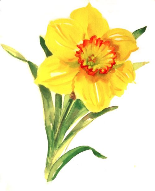 78 best images about Daffodils on Pinterest | Watercolour ...