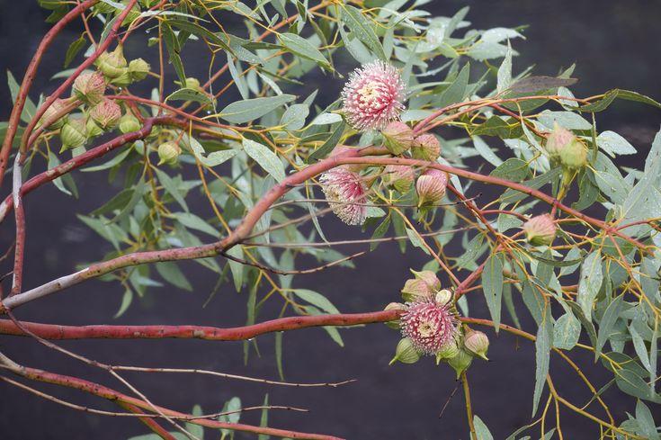 Eucalyptus Mallee. Australian Flora by Nina Williams Photography