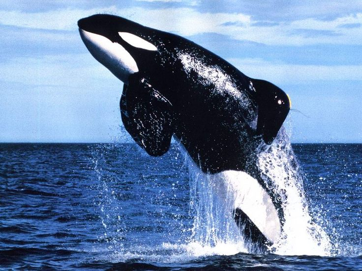 Killer Whale Animal (Orcinus orca)- all free willy movies