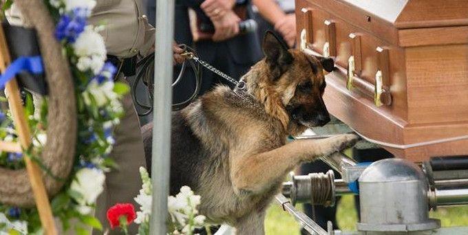Et pour cause : cette image montre un chienaux funérailles de son maîtreen train se « jeter » sur le cercueil de son maître avec émotion.