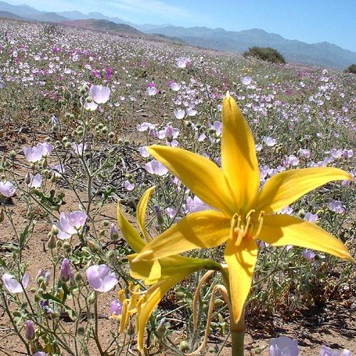 Desierto Florido / Flowering Desert (Chile)