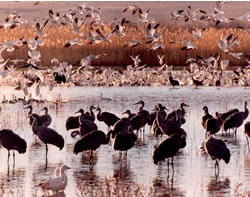 Bosque del Apache National Wildlife Refuge, autumn through winter, New Mexico