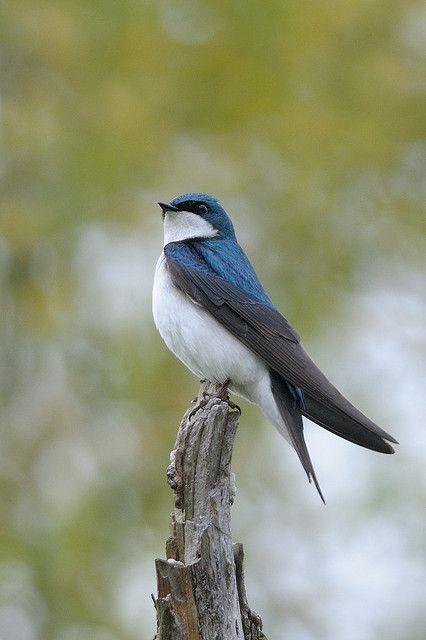 Tree Swallow ~ Tachycineta bicolour July 2003, Farm