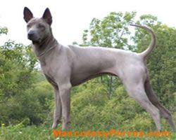 El Ridgeback Tailandés es una raza de perro perteneciente a la sección de perros tipo primitivo. El Ridgeback tailandés es una de las tres razas que tiene una cresta de pelo.