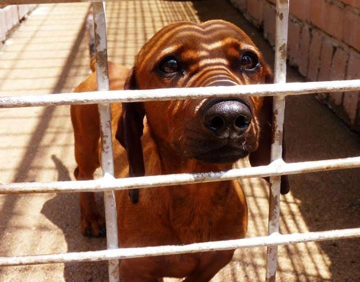 Gauteng Alberton Spca 011 9071568 Please Do Not Forget About This Beautiful Boy He Is Still Waiting For His Forever Alberton Beautiful Boys Waiting For Him