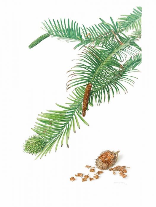 Wollemia nobilis (Wollemi Pine)