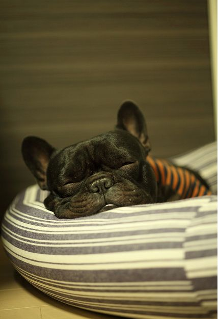 frenchie.: French Bulldogs, Dreams Pet, Frenchi Life, Sweet Baby, Frenchiebabi Dogs, Baby Dogs, Frenchi Fries, Frenchi Kiss, Sweet Dreams