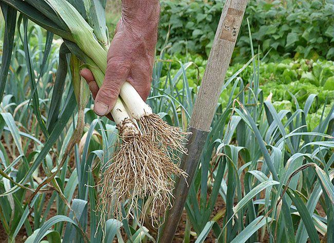 Tout ce qu'il faut savoir pour réussir le semis du poireau: associations au potager, rotation de culture, gestes de jardinage, lutte contre les maladies et p...