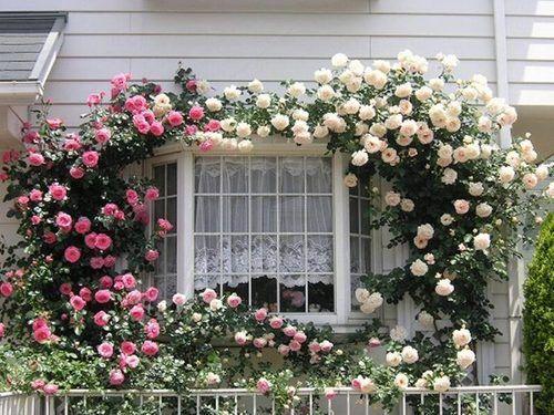 climbing roses kitchen window love love love the climbing rose