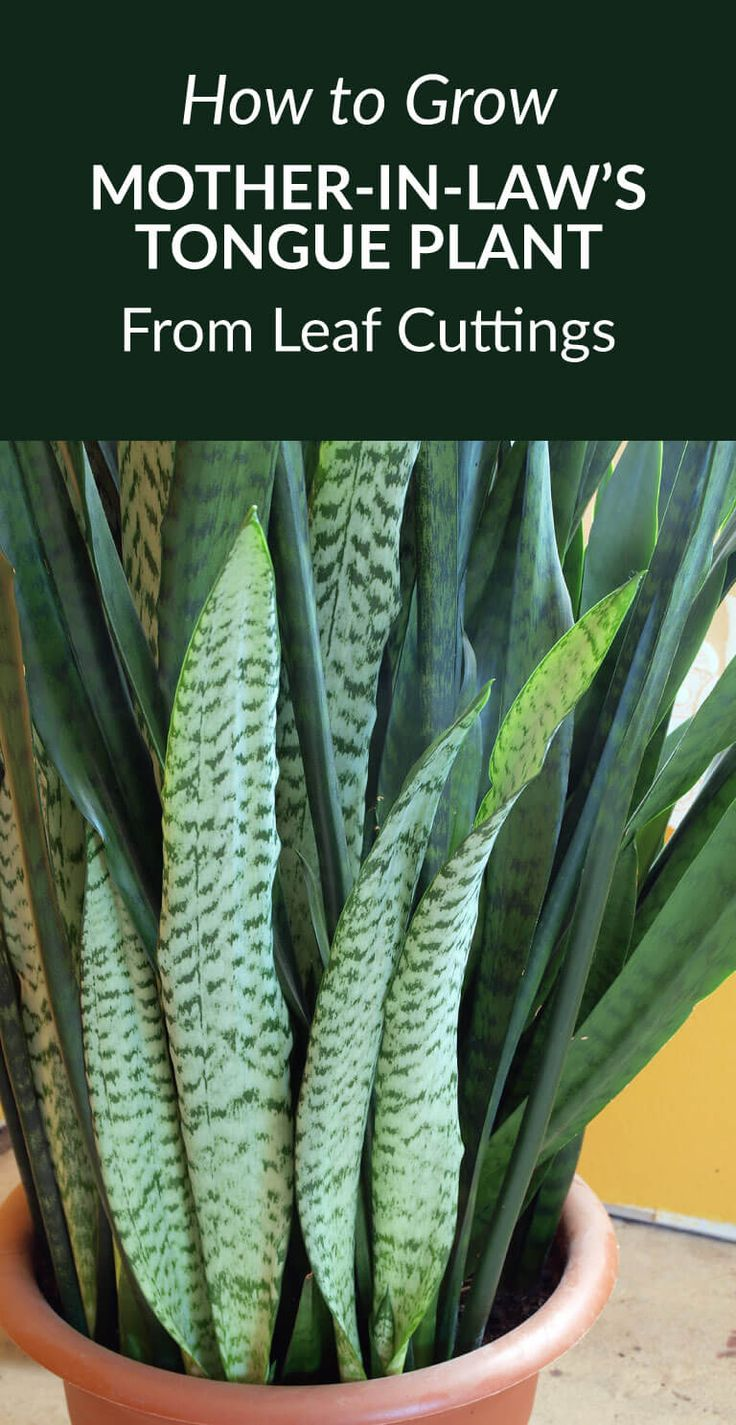 How to grow Mother-in-Law's Tongue Plant from leaf cuttings -- Propagating mother-in-law's tongue plant from leaf cuttings takes a while, but it's a very cost-effective & easy way of getting new plants. via @gardenexperimnt