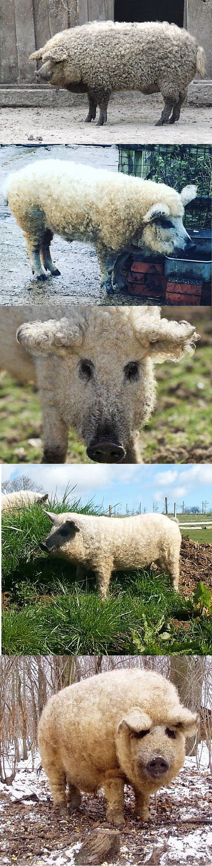 """Fuzzy pigs! These are called Mangalica pigs, aka """"sheep pigs"""" because of their fuzzy, curly coats."""