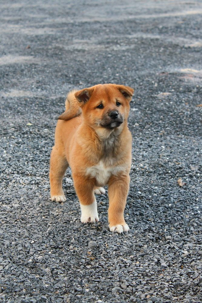 Shiba Inu Puppies For Sale In Lykens Pa Shiba inu puppy
