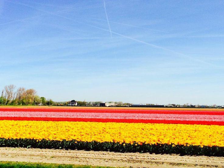 Тюльпановые поля  сегодня будет много спама с цветами  #dilitour #instaminsk #minsk #travel #tourism #amsterdam by miloshevskayai