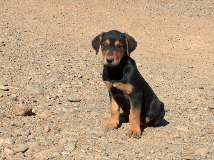 new zealand huntaway new zealand huntaway puppies