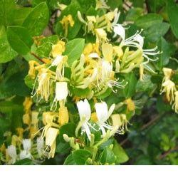 25 best ideas about plante grimpante persistant on pinterest plante grimpante feuillage - Plante grimpante qui fleurit tout l ete ...