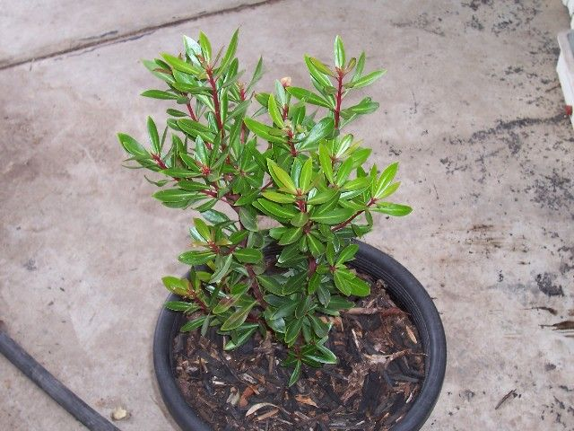Tasmania lanceolata (pepper) 3mx2m leaves and berries cross between chilli and pepper
