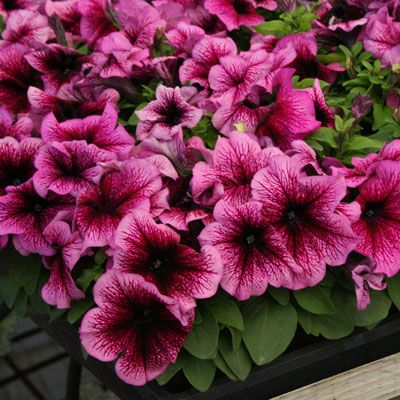 Petunia 'Limbo Plum'