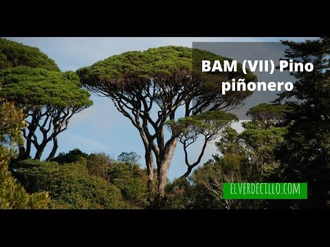 Bosque de Alimentos Mediterráneo (VII) Pino piñonero