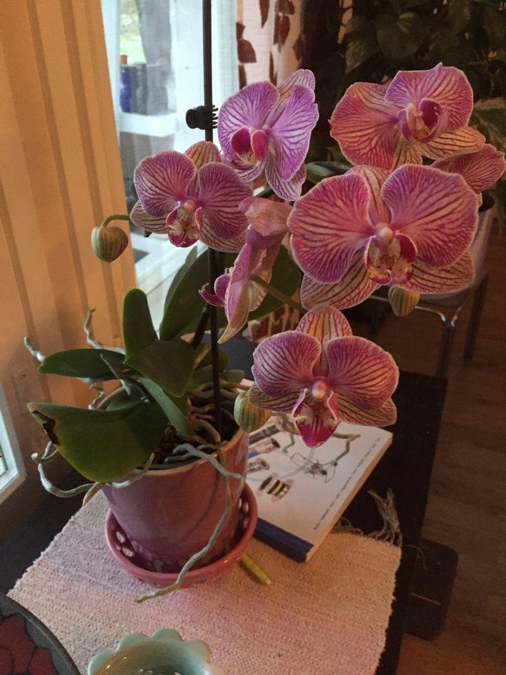 Orkidea marraskuussa 2016