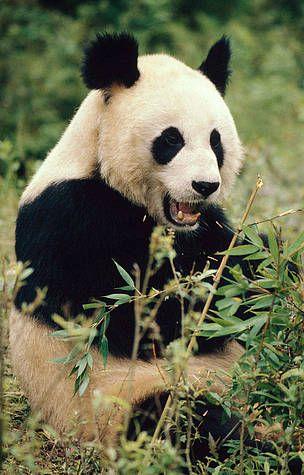 Antallet af pandaer stiger