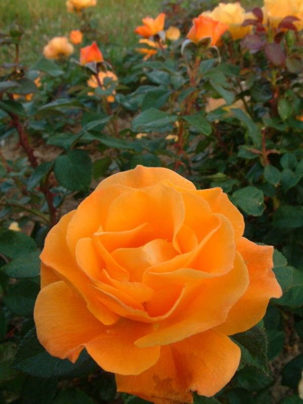 'Gold Dust' | Floribunda rose
