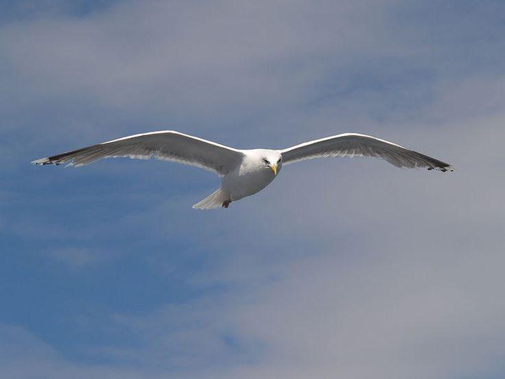Herring Gull in the baltic sea