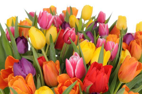 Tulipaner og blomsterløk   fagerlidalgartneri.no