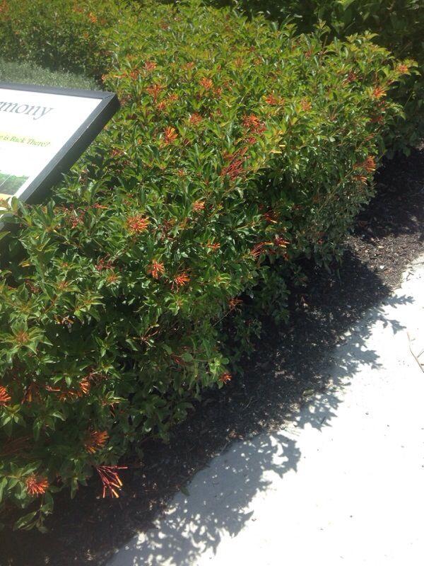 Garden Bush: Firebush (hamelia Patens): This Is A Firebush, A